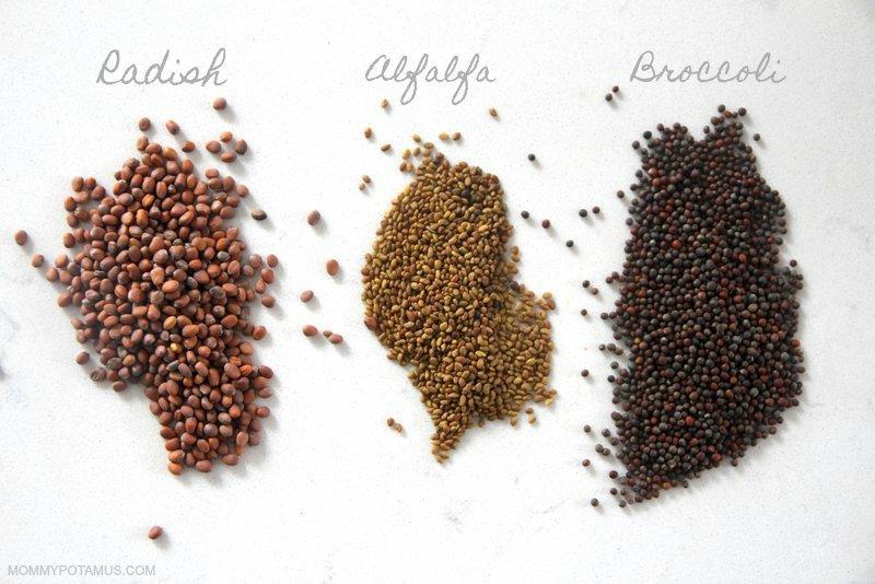 Radish, alfalfa and broccoli seeds
