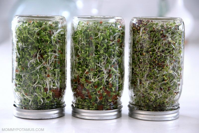Homegrown sprouts in mason jars