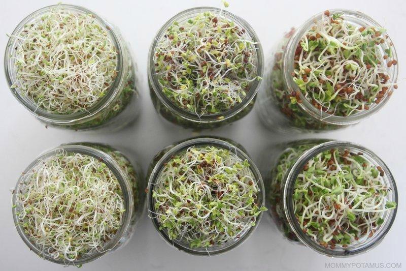 Alfalfa, radish and broccoli sprouts in mason jars on counter