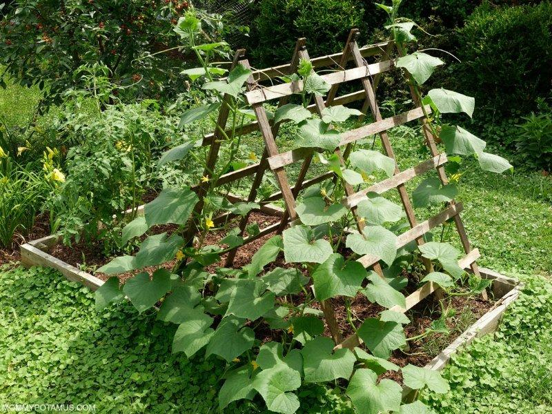 Vegetable vine growing on vertical garden trellis